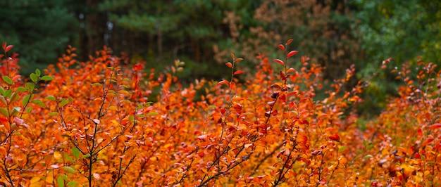 秋の森の自然の背景。緑のモミの森の赤いブッシュ