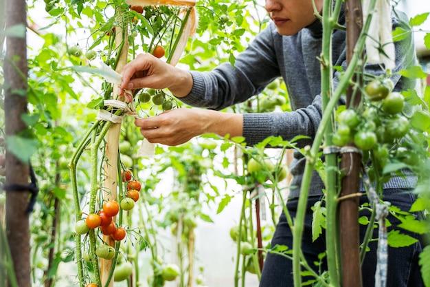 温室でトマトフルーツの成長を気遣う女性