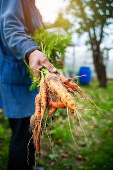 Свежие органические морковь в руках фермеров. сбор урожая моркови. здоровая пища.