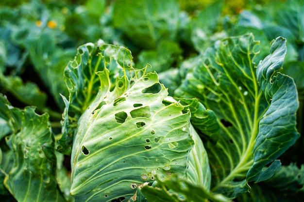 沸騰したキャベツの葉は、寄生虫によって損傷を受けます。キャベツキャベツワームによる収穫破壊