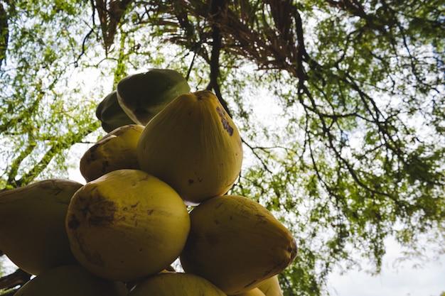 木から摘んだココナッツの摘み取られた束