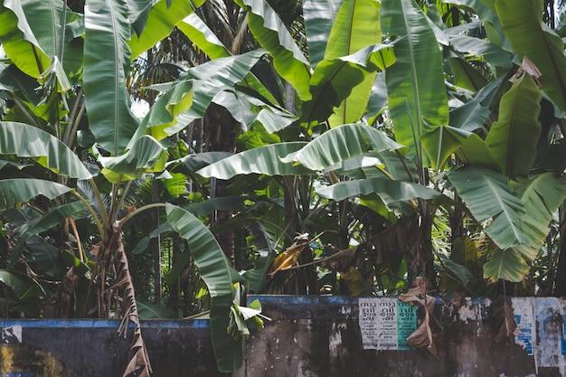 石の壁の後ろに成長しているバナナの木