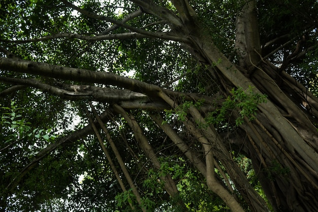 Большое дерево с висящими лозами