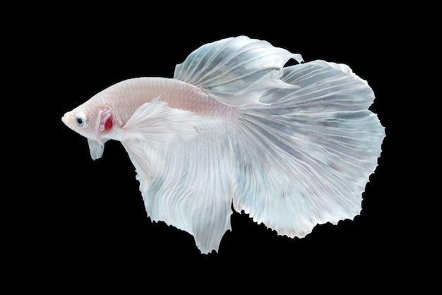 Белая полумуна бетта ест рыба