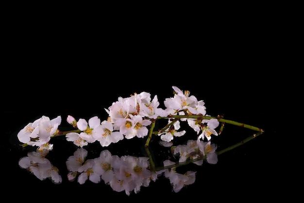 枝桜春の花黒背景