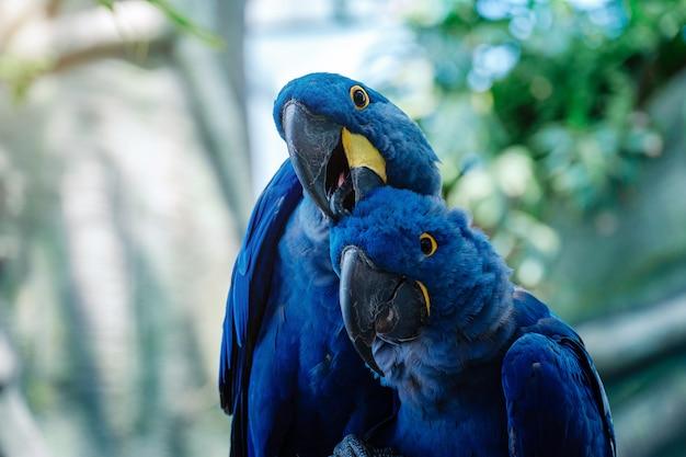 公園の青いヒヤシンスコンゴウインコオウムのカップル
