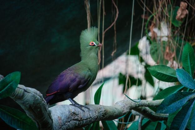 Зеленая птица турако в зеленом парке