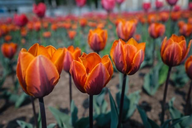 Цветок тюльпанов зацветая весной сад.