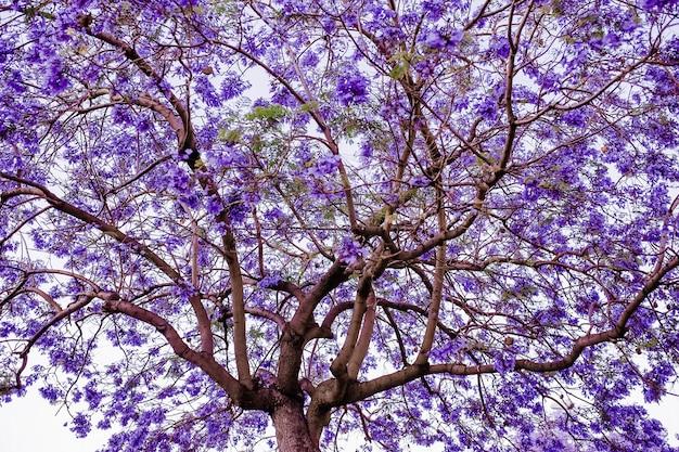 紫の花のジャカランダの木