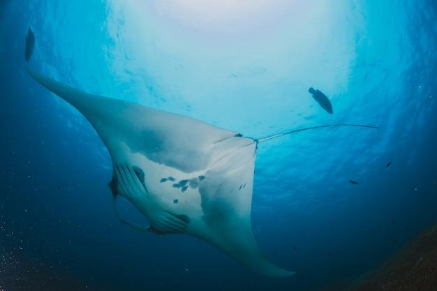 Манта-луч плавает на пустом океане