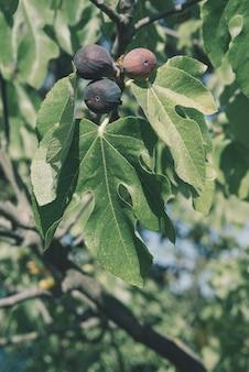 イチジクの木のバイオ