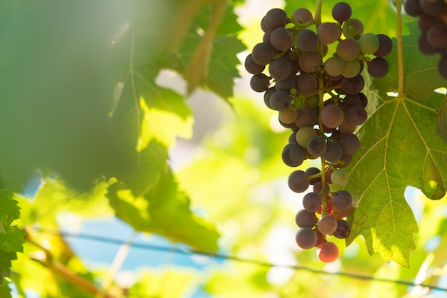 Виноградник и виноград