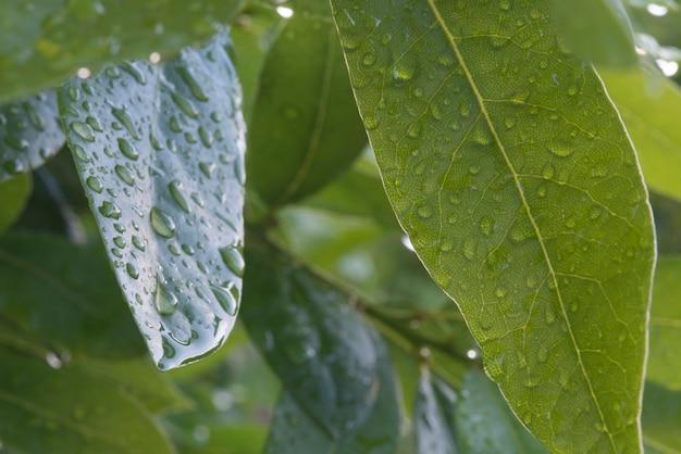 水滴の木の月桂樹