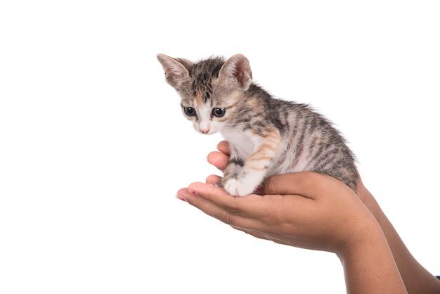 ホワイトスペースに人間の手で小さな子猫