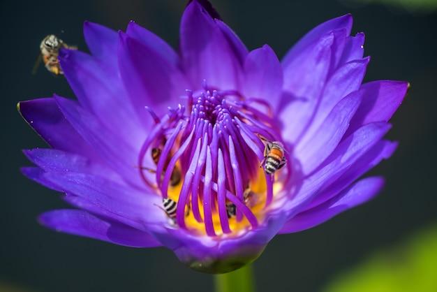 ミツバチは、美しい紫色のスイレンやハスの花から蜜を取ります。蜂と花のマクロ写真。