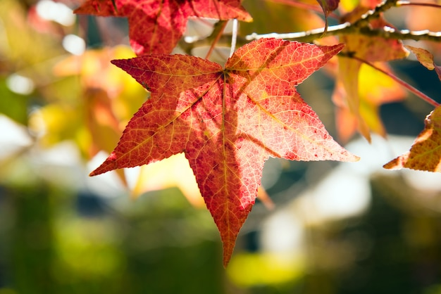 Кленовый лист красный осенний закат дерево фон