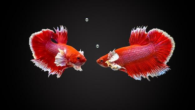 Сиамская бойная рыба