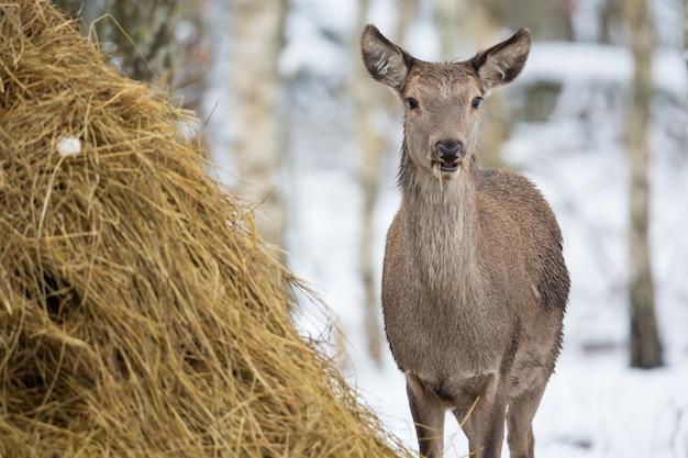 冬の森の干し草の近くの小さな鹿。