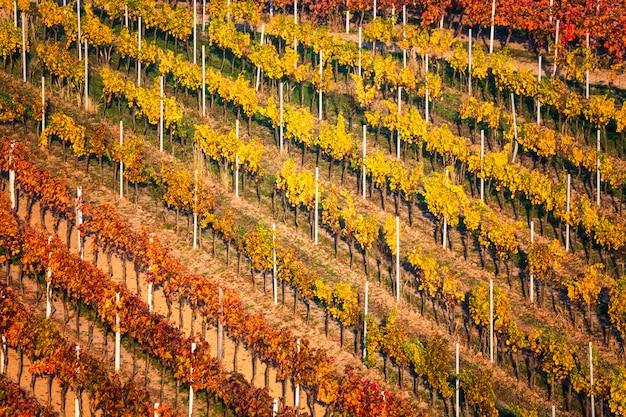 カラフルなブドウ畑のある秋の風景。チェコ共和国の南モラヴィアのブドウ畑。