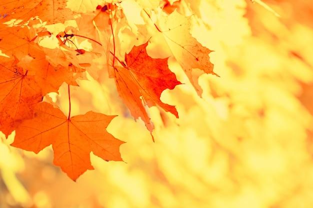 カラフルな秋のカエデの葉の枝は自然。