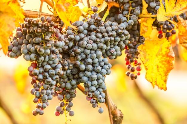 日の出、ブドウの秋の収穫の間に素敵な光の下で暗い赤ブドウの熟した房