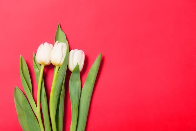 Белые тюльпаны цветы в ряд на красном фоне
