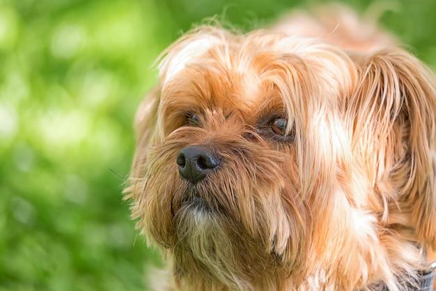 ヨークシャーテリア犬は、屋外の緑のぼやけた背景に対して肖像画を閉じます。
