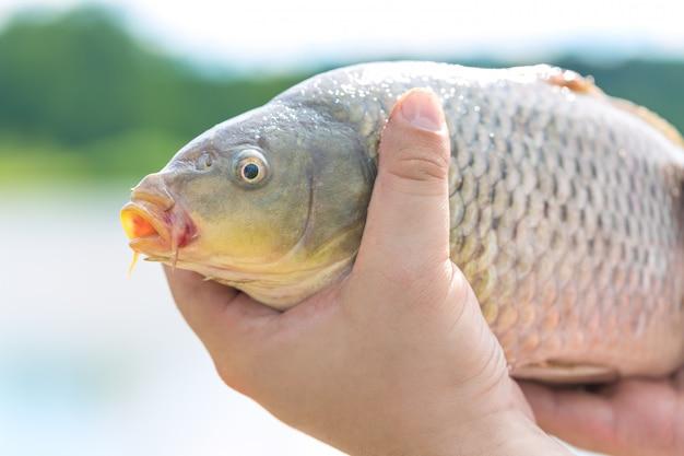 Большой живой зеркальный карп в руках рыбака