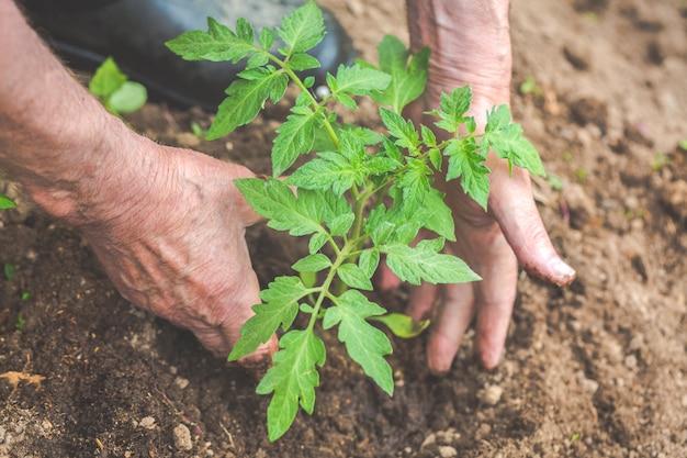老人の手がトマトの苗を土に植えています。