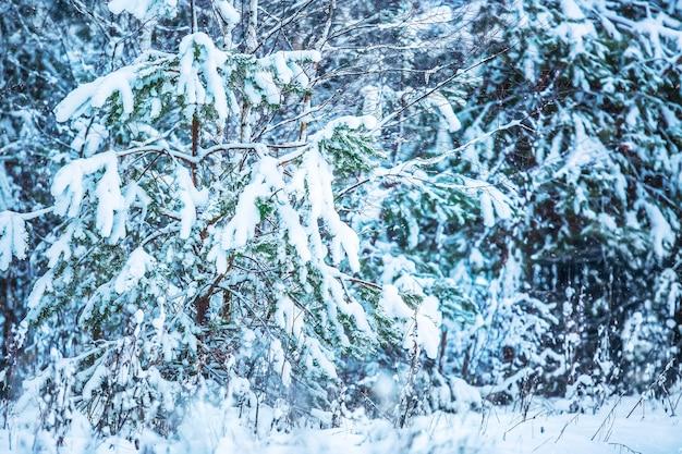 雪で冬のモミの木の森には木が覆われています。素晴らしい季節の冬のイメージ