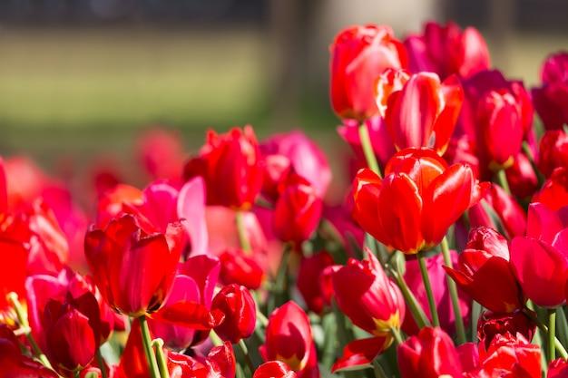 公共のフラワーガーデンに咲く色とりどりのチューリップの花壇。