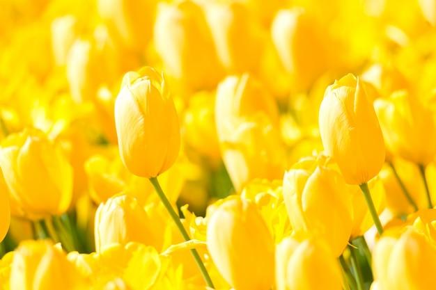 パブリックフラワーガーデンに咲く黄色のカラフルなチューリップの花壇。人気のある観光地。リッセ、オランダ、オランダ。