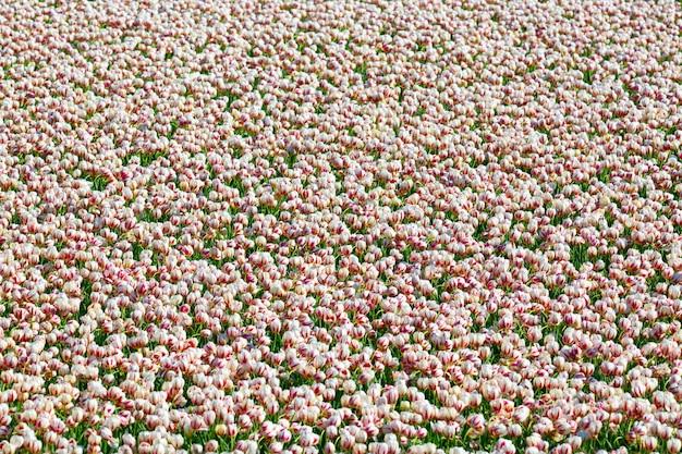 公共のフラワーガーデンに咲く色とりどりのチューリップの花壇。人気のある観光地。リッセ、オランダ、オランダ。