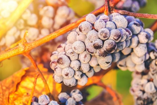 日の出、ブドウの秋の収穫の間に霜と素敵な光の下で滴と濃い赤ブドウの熟した房