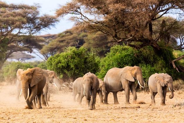 Африканские слоны в национальном парке амбосели. кения, африка.