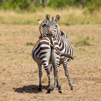 Пара зебр в саванне африки. национальный парк масаи мара, кения