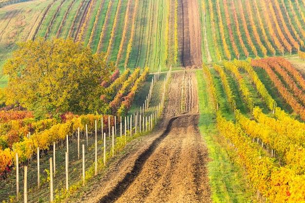 Красочные ряды виноградников осенью, проселочная дорога среди виноградников,