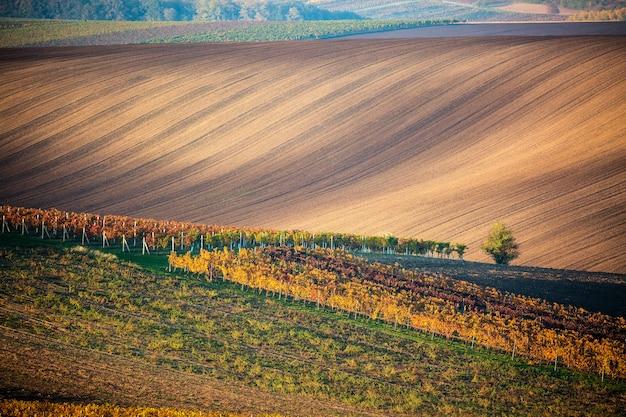 モラヴィアの畑の孤独な秋の木と秋のブドウ畑の列。
