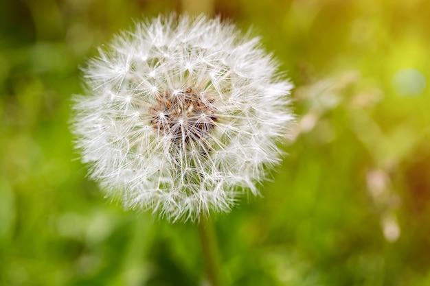 緑の背景に白いタンポポの花のクローズアップ