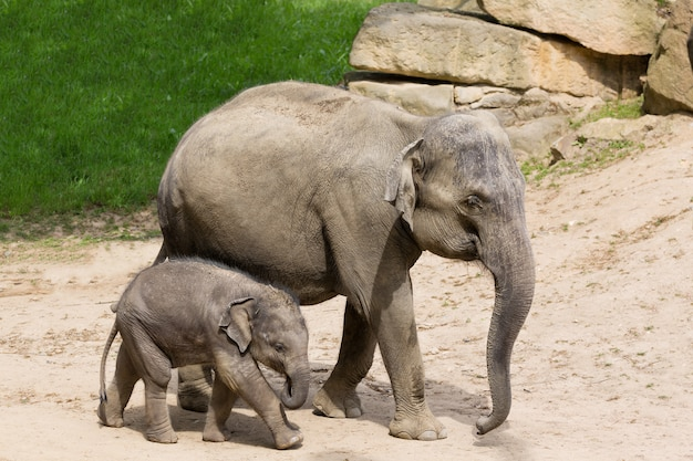 象の赤ちゃんと象の母