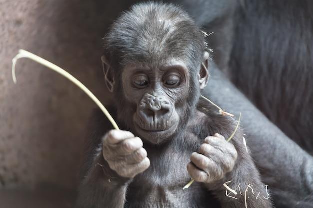 かわいい小さなゴリラの赤ちゃんは棒で遊ぶ