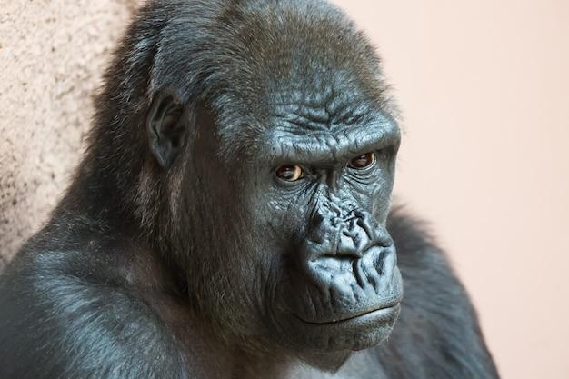 Портрет милой гориллы крупным планом, сидя на земле