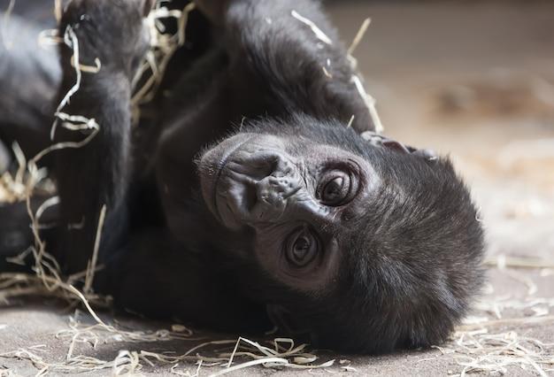Милый маленький ребенок гориллы отдыхает на земле