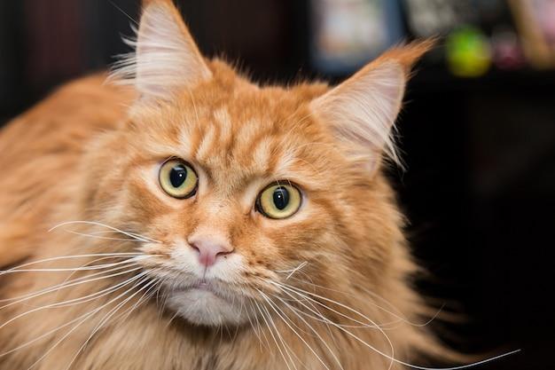 猫メインクーンをクローズアップ