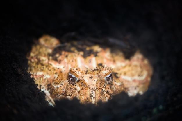 地面にアルゼンチンの角のあるカエルまたはパックマンカエル