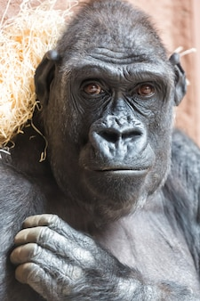 Милый портрет гориллы, сидя на земле