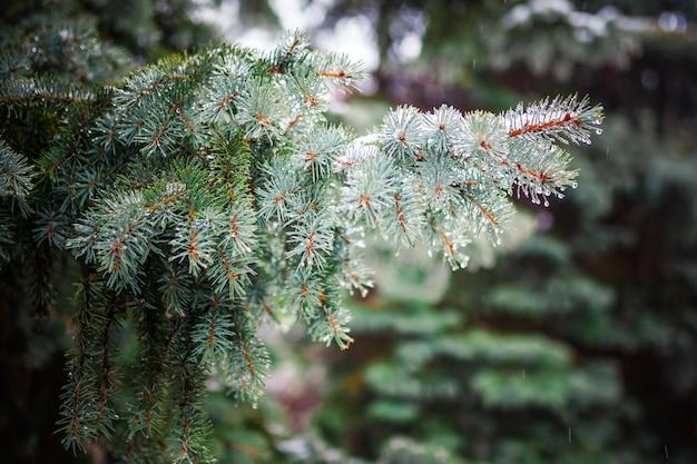 針葉樹の枝