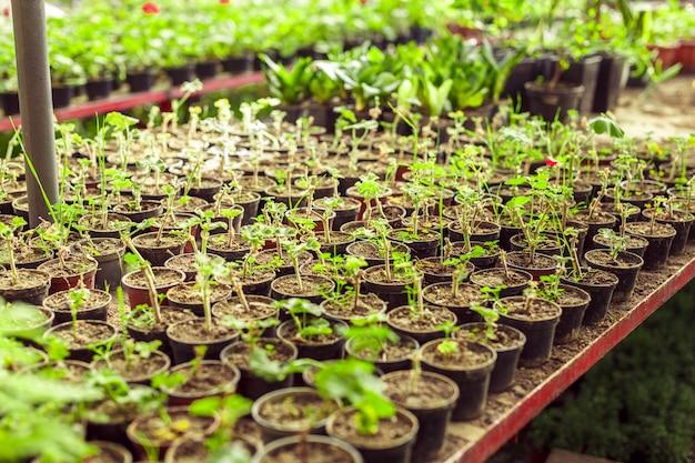 Пеларгония герани в теплице ботанического сада.