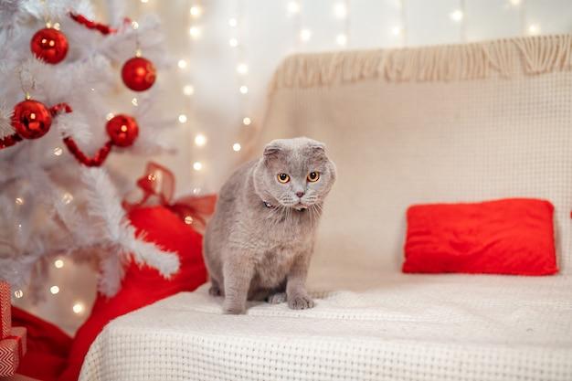 スコティッシュストレートクリスマスの子猫