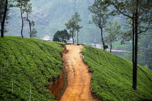 Обширная чайная плантация на холме рядом с грунтовой дорогой